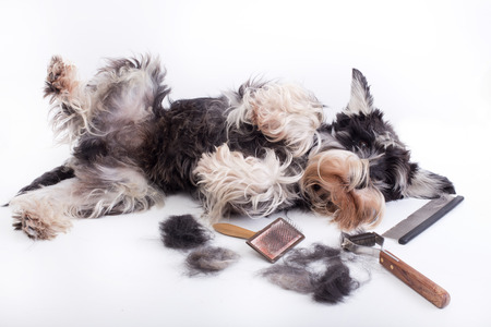 Foto de Cute miniature schnauzer lying beside grooming and trimming equipment with his hair on table - Imagen libre de derechos