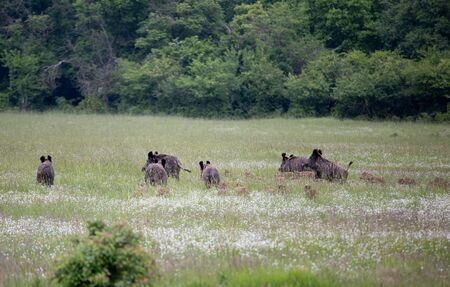 Group of wild boars (sus scrofa ferus) with piglets running away on meadow in forest. Wildlife in natural habitat