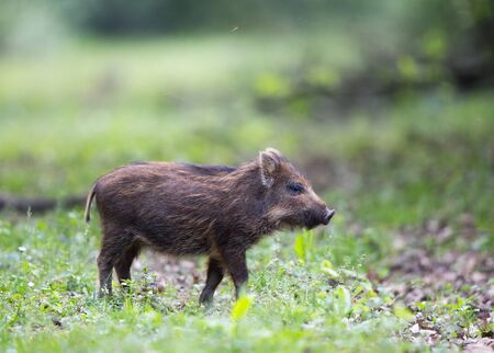 Wild boar piglet (sus scrofa ferus) with stripes walking alone on meadow in forest. Wildlife baby animal in natural habitat