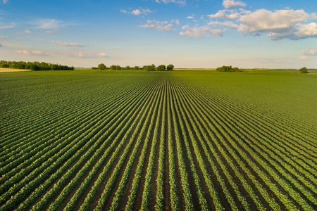 Foto de Beautiful agricultural landscape of green soybean rows in open field with blue sky and white clouds - Imagen libre de derechos