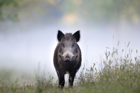Photo pour Wild boar walking on meadow on foggy morning and looking at camera. Wildlife in natural habitat - image libre de droit