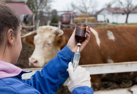 Photo pour Young veterinarian preparing syringe in front of cow on ranch - image libre de droit