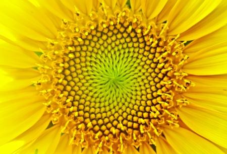 Photo pour sunflower - image libre de droit