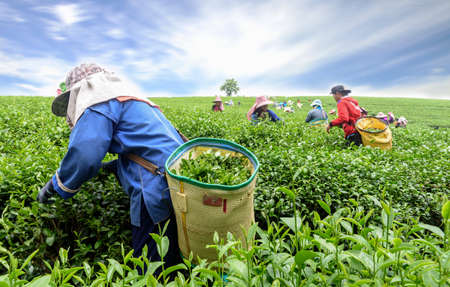 Photo pour Crowd of tea picker picking tea leaf on plantation, Chiang Rai, Thailand - image libre de droit