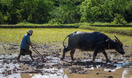 Foto de Thai farmer working with his buffalo, They were soaked with water and mud to be prepared for planting. wait three months to harvest crops. - Imagen libre de derechos