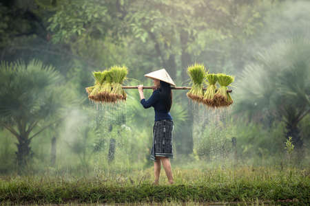 Photo for Woman Farmers grow rice in the rainy season. They were soaked with water and mud to be prepared for planting. wait three months to harvest crops - Royalty Free Image