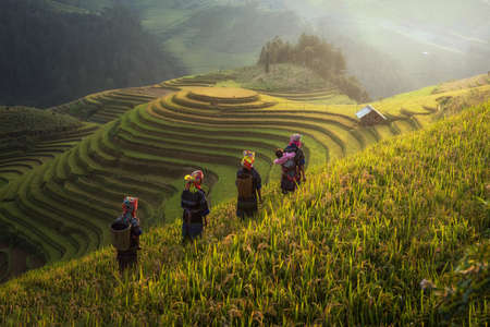 Photo for Farmer in Rice fields on terraced in rainny season at Mu cang chai, Vietnam. Rice fields prepare for transplant at Northwest Vietnam - Royalty Free Image
