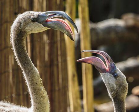 Foto de Los Angeles, California, USA - July 19, 2018:  Los Angeles, California, USA- July 19, 2018:  The greater flamingo is the largest and most widespread of all flamingo species. - Imagen libre de derechos