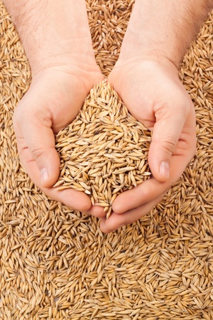 handful of crops of oats in their hands, for your design