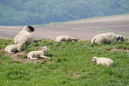 Foto de A small flock of sheep resting in the sun - Imagen libre de derechos