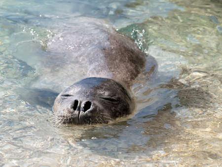 Foto de Mediterranean monk seal relax in sea shallows - Imagen libre de derechos