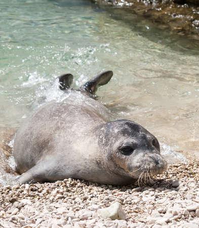 Foto de Mediterranean monk seal relax on sea shallows  - Imagen libre de derechos