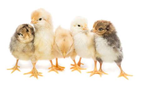 Photo pour Five chickens on white background, isolation, village, summer - image libre de droit
