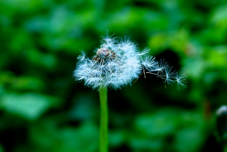 Photo for big white dandelion on nature on a green background - Royalty Free Image