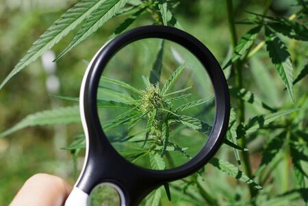 Photo for black magnifier in hand increases the green leaf on a bush of marijuana - Royalty Free Image