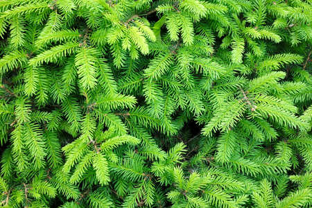 Photo for Branches of conifer background - Royalty Free Image