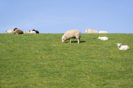 Foto de sheep on dike in North Frisia, Germany - Imagen libre de derechos