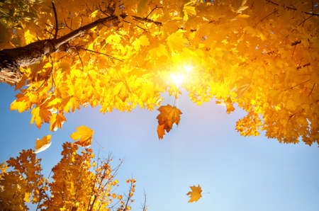 Yellow maple leaves falling from tree in autumn at blue sky with sun