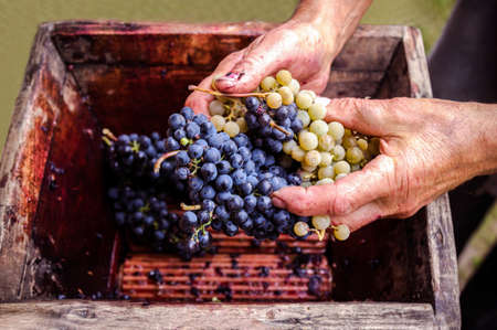 Photo pour Person putting grapes in old manual press for grapes crushed - image libre de droit