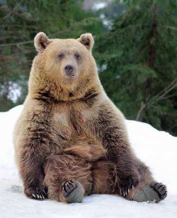Photo pour Bear in winter forest - image libre de droit