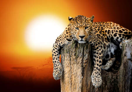 Photo pour Leopard sitting on a tree - image libre de droit