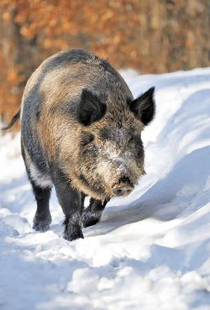 Beautiful wild boar in the winter forest