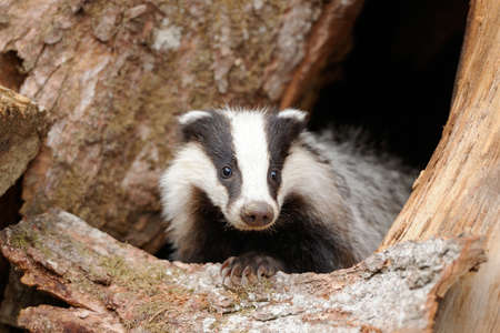 Photo pour Badger near its burrow in the forest - image libre de droit