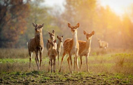 Photo pour Deer in autumn field - image libre de droit
