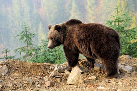 Photo pour Bear in forest - image libre de droit