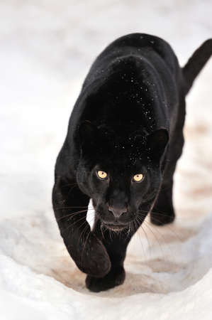 Foto de Beautiful leopard on snow - Imagen libre de derechos