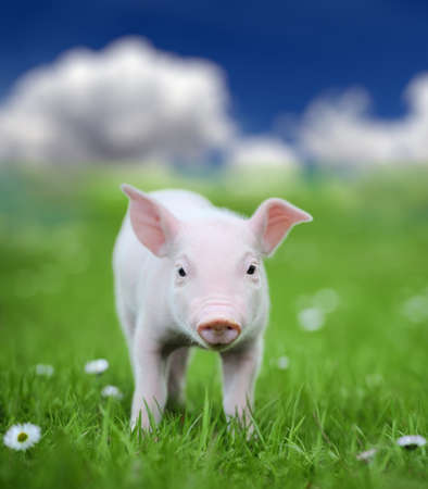 Young pig on a spring green grass in meadow