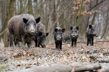 Photo pour Wild boar in autumn forest - image libre de droit