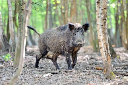 Photo pour Wild boar in spring forest - image libre de droit