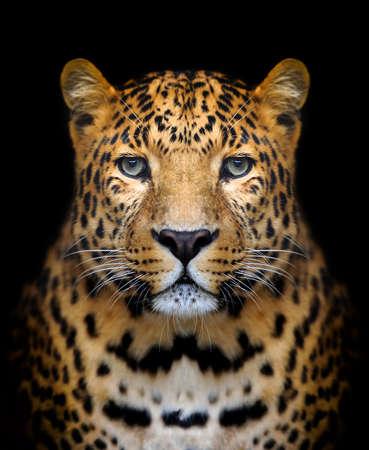 Photo pour Close-up leopard portrait on dark background - image libre de droit