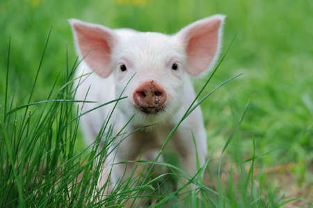 Photo pour Piglet on spring green grass on a farm - image libre de droit