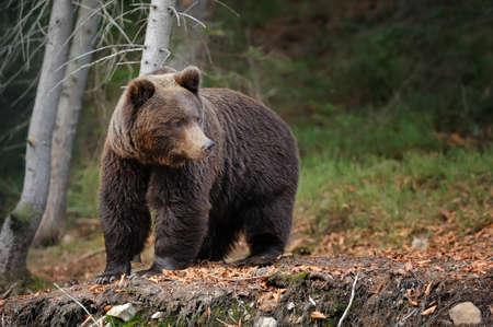 Photo pour Big brown bear (Ursus arctos) in the forest - image libre de droit