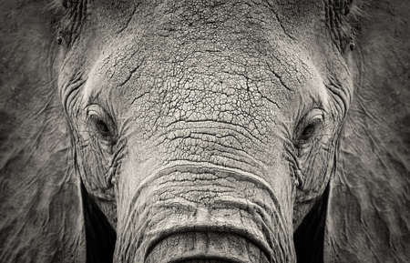 Photo pour Close-up of African Elephant (Loxodonta africana). Kenya, Africa - image libre de droit