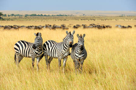Photo pour Zebra on grassland in Africa, National park of Kenya - image libre de droit