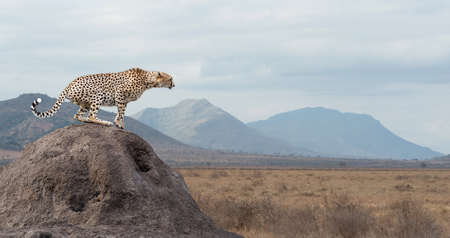 Photo pour Wild african cheetah, beautiful mammal animal. Africa, Kenya - image libre de droit