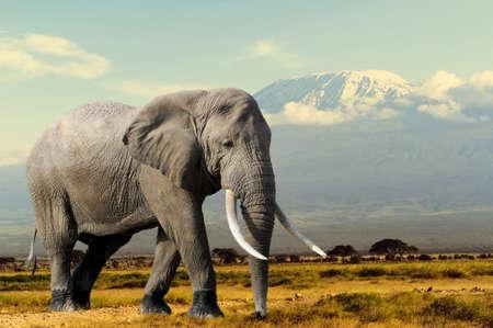 Elephant on Kilimajaro mount background in National park of Kenya, Africa