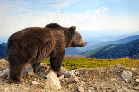 Photo pour Big brown bear (Ursus arctos) in the mountain - image libre de droit