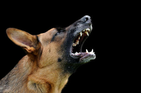 Photo for Close-up portrait angry dog on dark background - Royalty Free Image