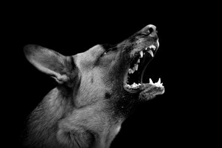 Photo for Angry dog on dark background. Black and white image - Royalty Free Image