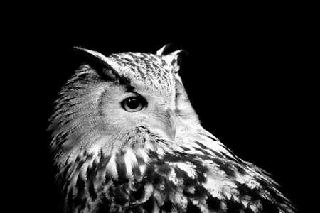 Photo for Owl on dark background. Black and white image - Royalty Free Image