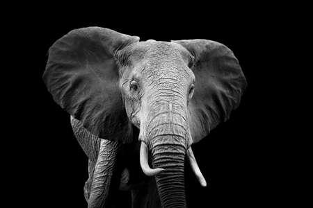 Foto de Elephant on dark background. Black and white image - Imagen libre de derechos