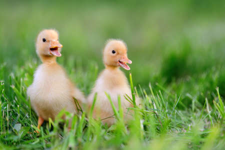 Photo for Two little yellow duckling on green grass - Royalty Free Image