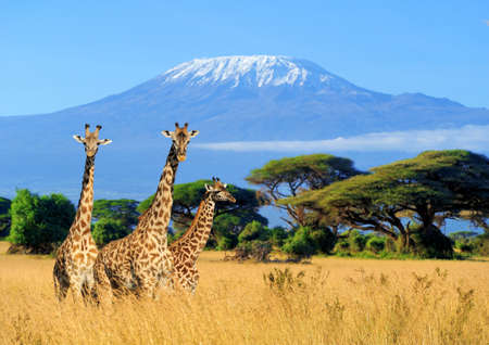 Photo pour Three giraffe on Kilimanjaro mount background in   Kenya, Africa - image libre de droit