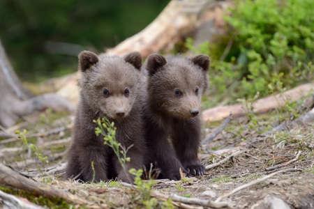 Photo pour Wild brown bear cub close-up - image libre de droit