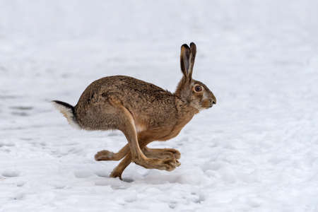 Photo for Hare running in the winter field - Royalty Free Image