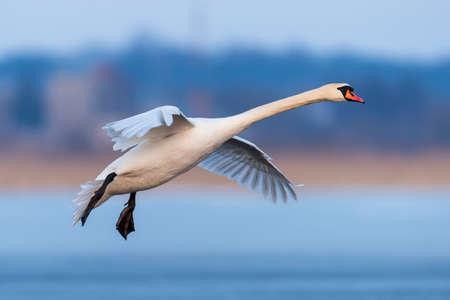 Photo pour Mute swan, Cygnus olor, single bird in flight at evening - image libre de droit